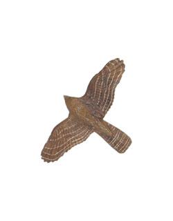 Cooper's Hawk Pin
